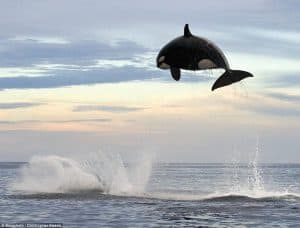 8Ton Orca jumping out of Ocean